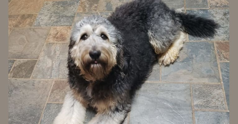 Photo of Bruno, a Bernedoodle  in Yadkinville, NC, USA