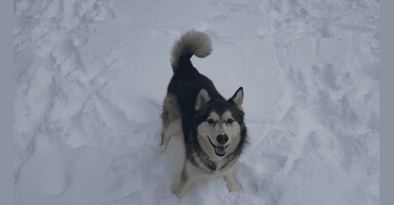 Photo of Kaylie, an Alaskan Malamute