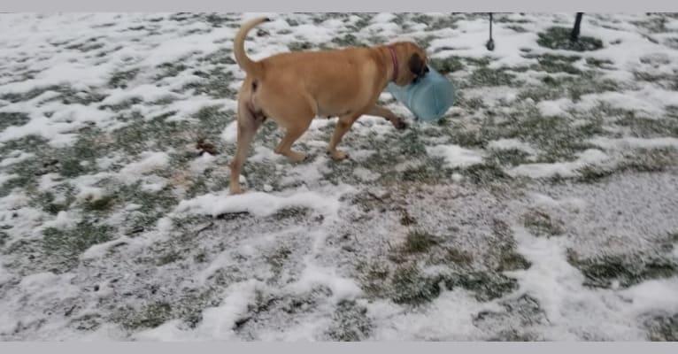 Photo of Willow, a Mastiff  in Bellefonte, Pennsylvania, USA