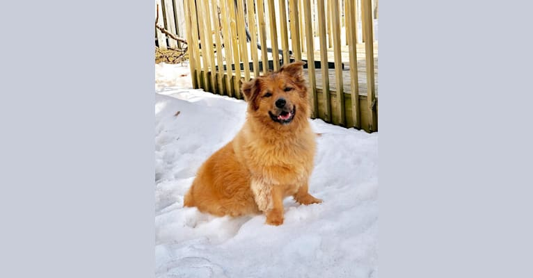 Photo of JD, an American Pit Bull Terrier, Chow Chow, German Shepherd Dog, Cocker Spaniel, and Mixed mix in Tennessee, USA