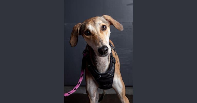 Photo of Polly, an Arabian Village Dog and Saluki mix in Qatar
