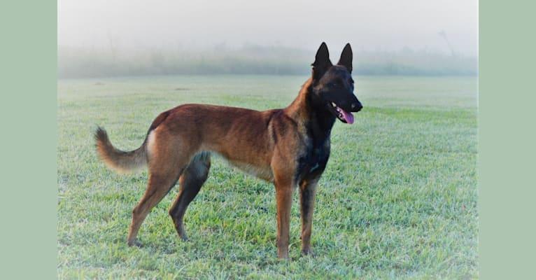 Photo of Grace, a Belgian Shepherd  in Florida, USA