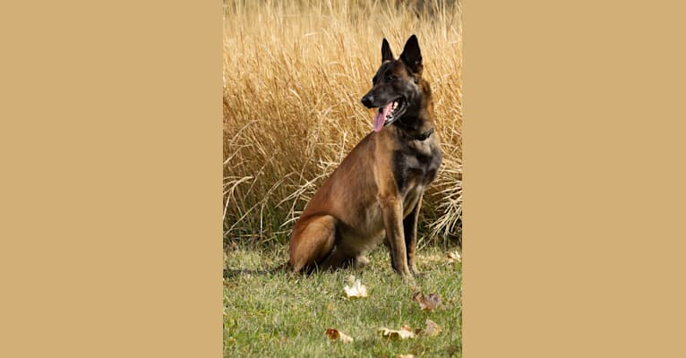 Photo of Ragnar, a Belgian Shepherd