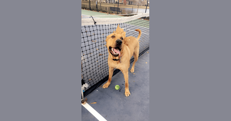 Photo of Riley, a German Shepherd Dog, American Pit Bull Terrier, Chow Chow, Boxer, and Mixed mix in Houston, Texas, USA