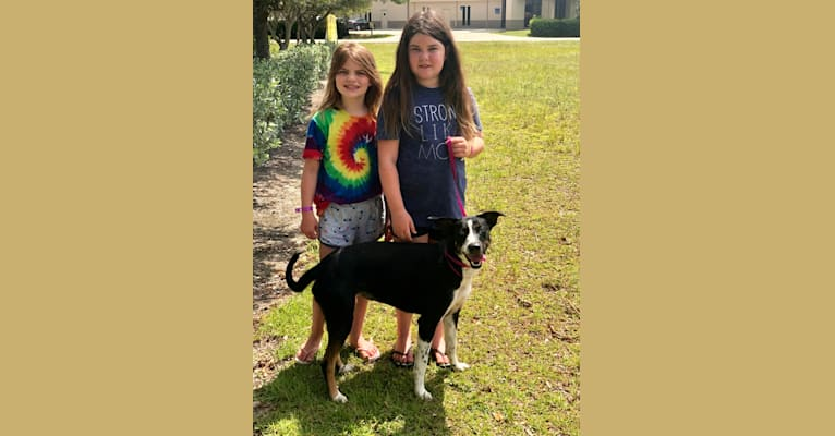Photo of Blue Mitchell, a Catahoula Leopard Dog, Labrador Retriever, Mountain Cur, German Shepherd Dog, and Mixed mix in Fort Myers, Florida, USA