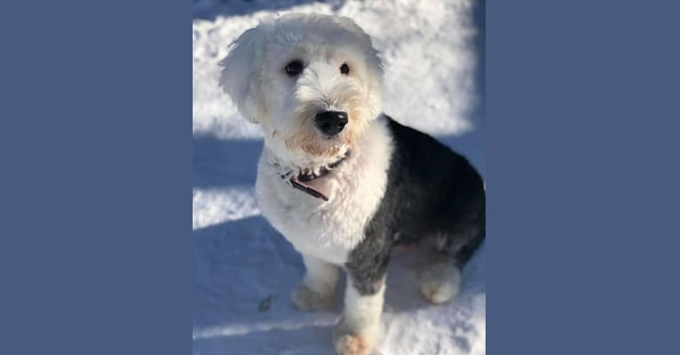 Photo of Sophie, an Old English Sheepdog  in Alberta, Canada