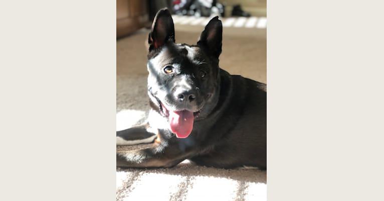 Photo of Mulani, an Akita, American Pit Bull Terrier, German Shepherd Dog, and American Staffordshire Terrier mix in O'Fallon, Illinois, USA