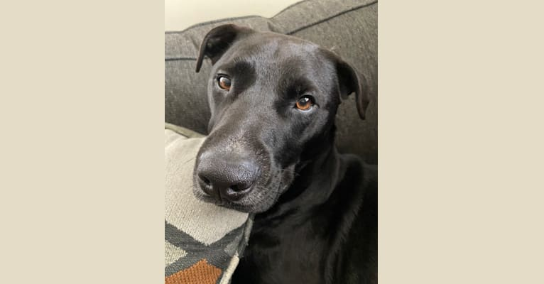 Photo of Remy, a Rottweiler and American Pit Bull Terrier mix in Berkley, Michigan, USA
