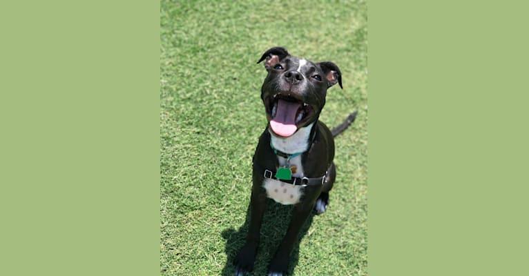 Photo of Bear, an American Bully and Chihuahua mix in Tulsa, Oklahoma, USA