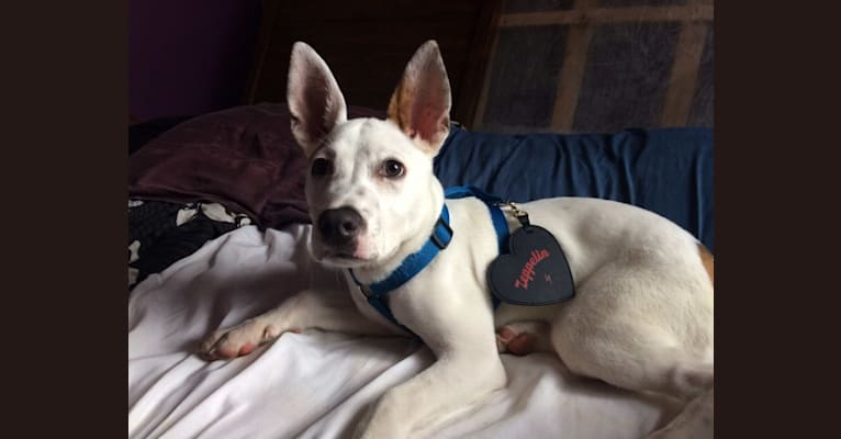 Photo of Zepp, an American Pit Bull Terrier and American Staffordshire Terrier mix in Chesterfield, VA, USA