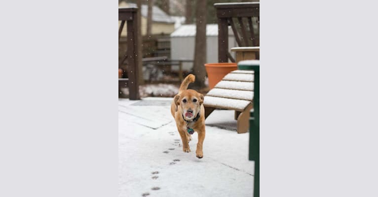 Photo of Rosie, a Basset Hound, Poodle (Small), and Rat Terrier mix in Denver, Colorado, USA