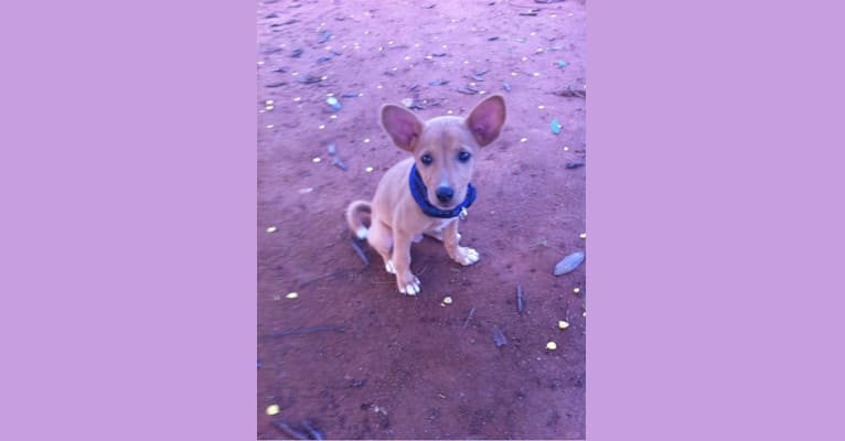 Photo of Sunsum, a West African Village Dog  in Akyem Kukurantumi, Eastern Region, Ghana