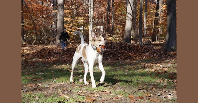 Photo of Zetes, a Mountain Cur, American Pit Bull Terrier, Australian Cattle Dog, Siberian Husky, and Mixed mix in Tennessee, USA