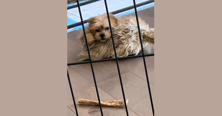 Photo of Gonta, a Yorkshire Terrier, Cocker Spaniel, Maltese, Poodle (Small), and Mixed mix in Los Angeles, California, USA