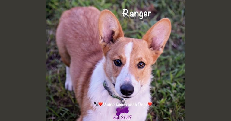 Photo of Ranger, a Pembroke Welsh Corgi  in Missouri, USA