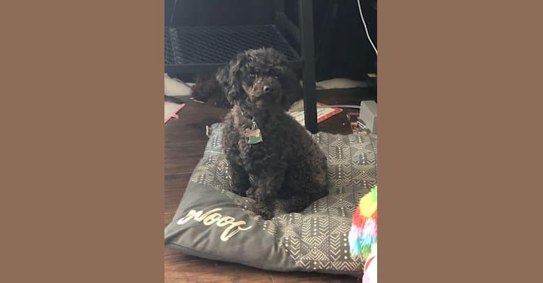 Photo of Sammie, a Poodle (Small)  in 8177 Gum Street, Houma, LA, USA