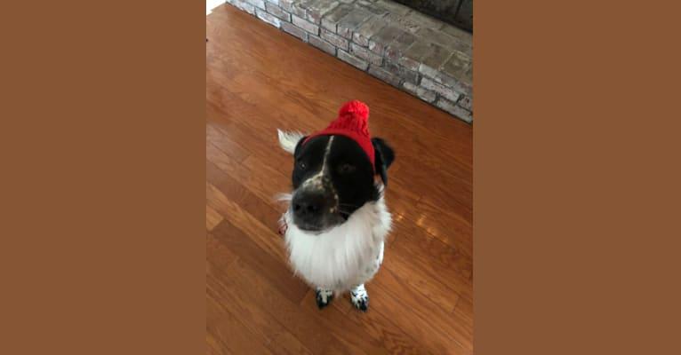 Photo of Rhett Spaghetti, an American Pit Bull Terrier, Chow Chow, Maremma Sheepdog, and Great Pyrenees mix in North Carolina, USA