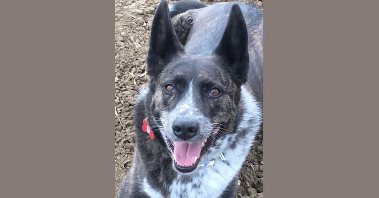 Photo of Lou, an Australian Cattle Dog, German Shepherd Dog, Miniature/MAS-type Australian Shepherd, and Mixed mix in Colorado, USA