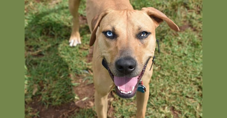 Photo of Nalani, an American Pit Bull Terrier and Catahoula Leopard Dog mix in Hawaii, USA