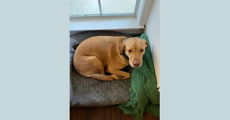 Photo of Buddy, a Labrador Retriever, Australian Kelpie, American Pit Bull Terrier, and Boxer mix in Central, Louisiana, USA