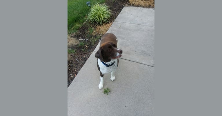 Photo of Ralphie, an English Springer Spaniel  in St Paul, Minnesota, USA