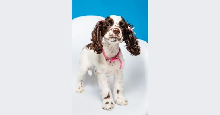 Photo of Piper, a Cocker Spaniel  in Evansville, Indiana, USA