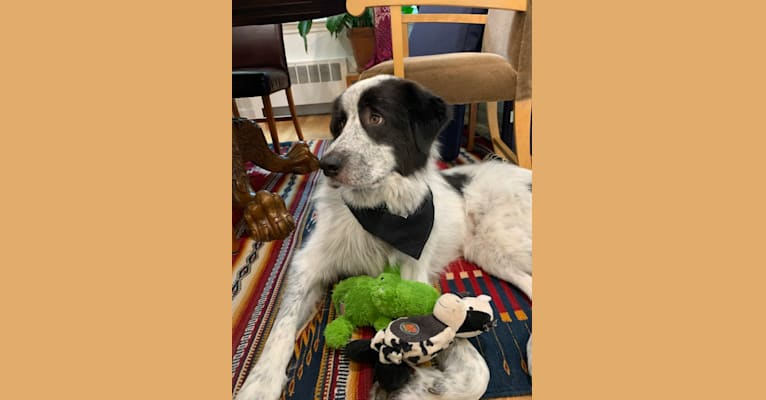 Photo of Frankie Ocean, a Great Pyrenees and Maremma Sheepdog mix in Kentucky, USA
