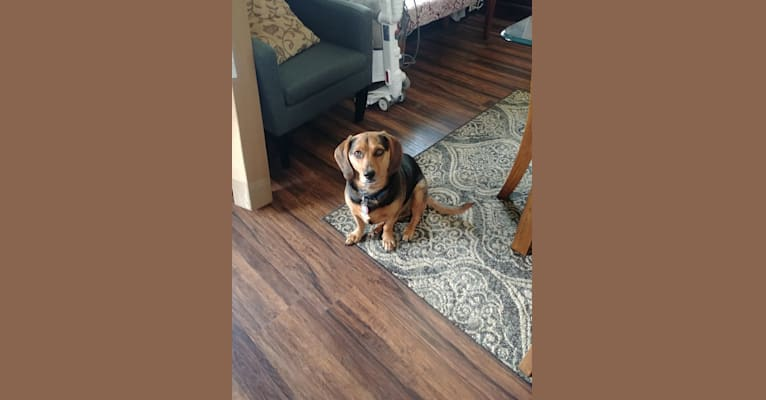 Photo of Philip, a Beagle, Dachshund, and Mixed mix in Pittsburgh, Pennsylvania, USA