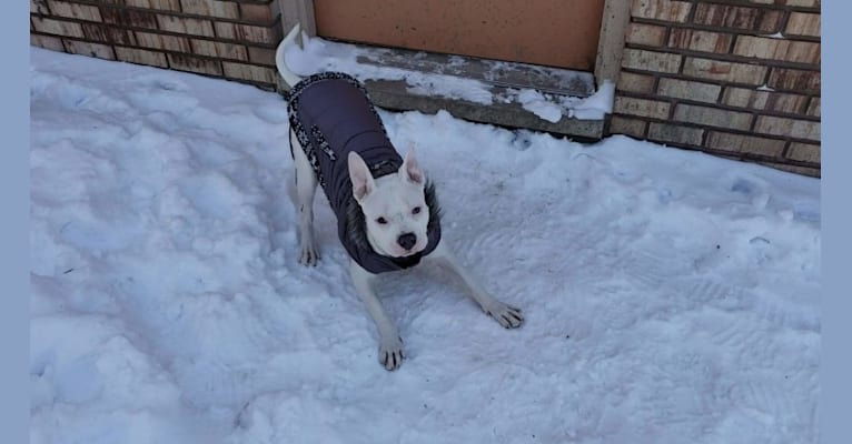 Photo of Joy, an American Pit Bull Terrier  in Detroit, Michigan, USA