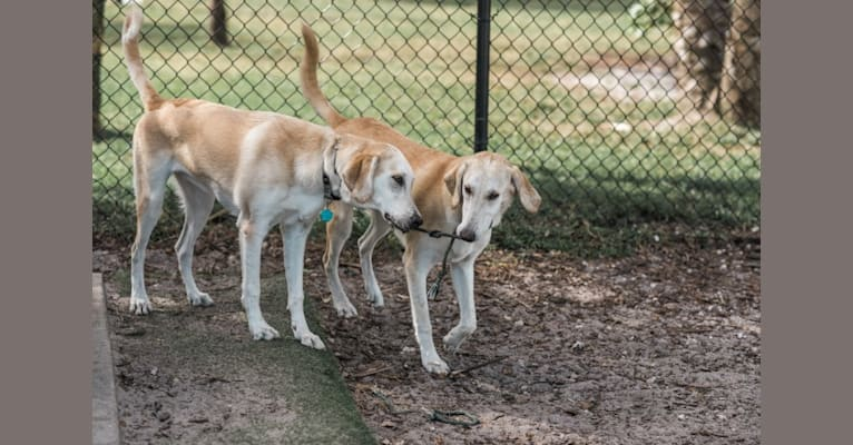Photo of Aspen, a Bloodhound and German Shepherd Dog mix in Big Dog Ranch Rescue, Okeechobee Boulevard, Loxahatchee Groves, FL, USA