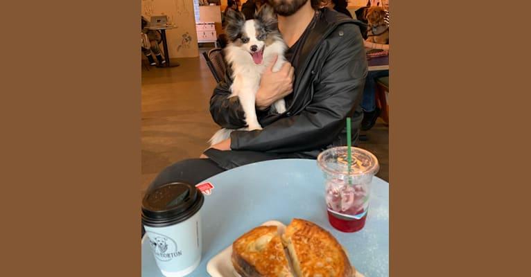 Photo of Harvey, a Pomchi  in New York, New York, USA