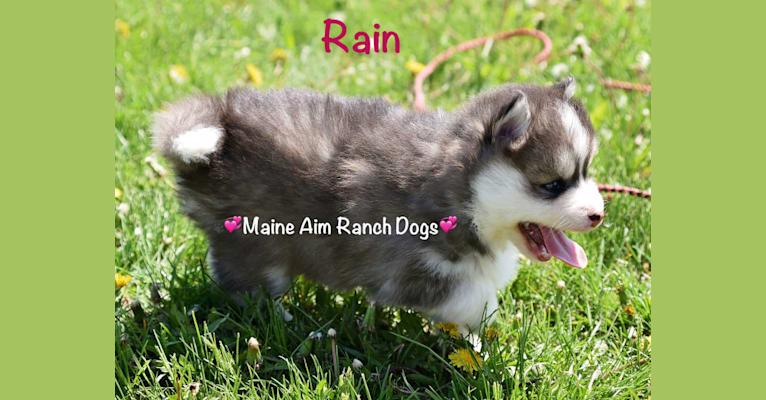 Photo of Rain, a Pomsky