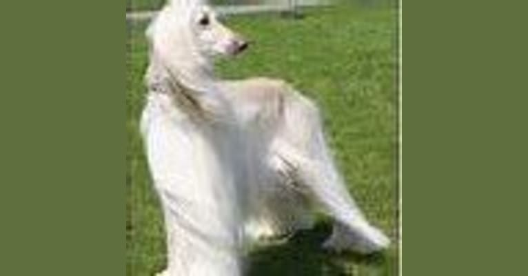 Photo of Levi, an Afghan Hound