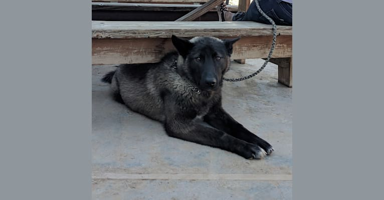 Photo of Flash, a Karelian Bear Dog, Irish Wolfhound, and Alaskan Malamute mix in Carson, NM, USA