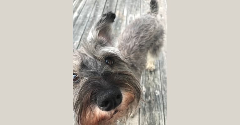Photo of Digby, a Miniature Schnauzer  in Maine, USA