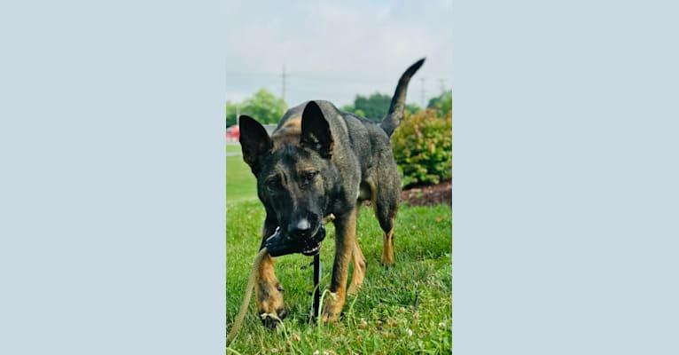Photo of Rex1333, a German Shepherd Dog and Dutch Shepherd mix in Hungary