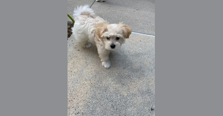 Photo of Teddy, a Maltese, Yorkshire Terrier, Poodle (Small), and Mixed mix in Irwindale, California, USA