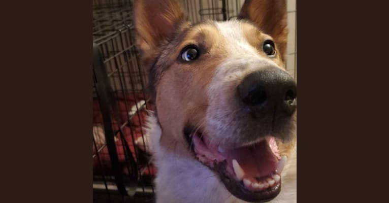 Photo of Zeke, an Australian Cattle Dog and Collie mix in Joliet, Illinois, USA