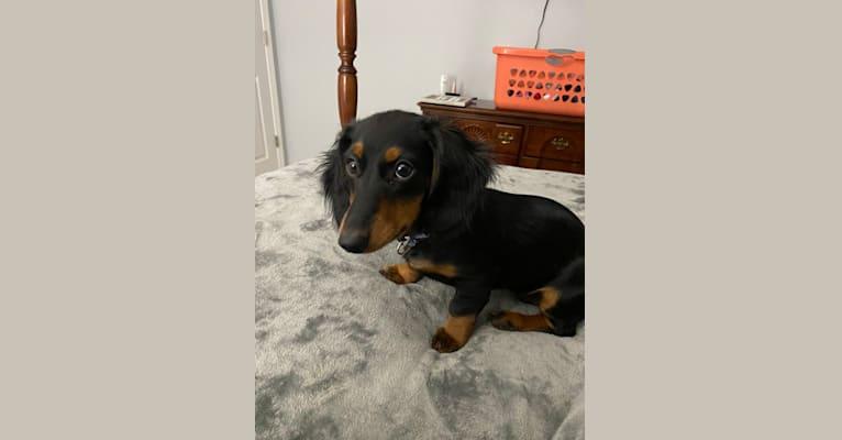 Photo of Mika, a Dachshund  in Dobson, NC, USA
