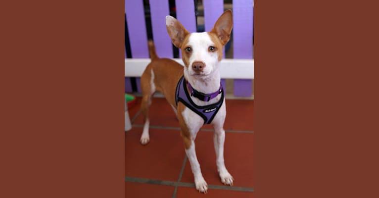 Photo of Tiggy, a Rat Terrier and Miniature Pinscher mix in Alameda, California, USA