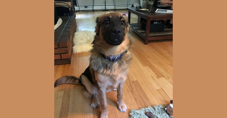 Photo of Luna, a Labrador Retriever, Chow Chow, and Mixed mix in Tennessee, USA