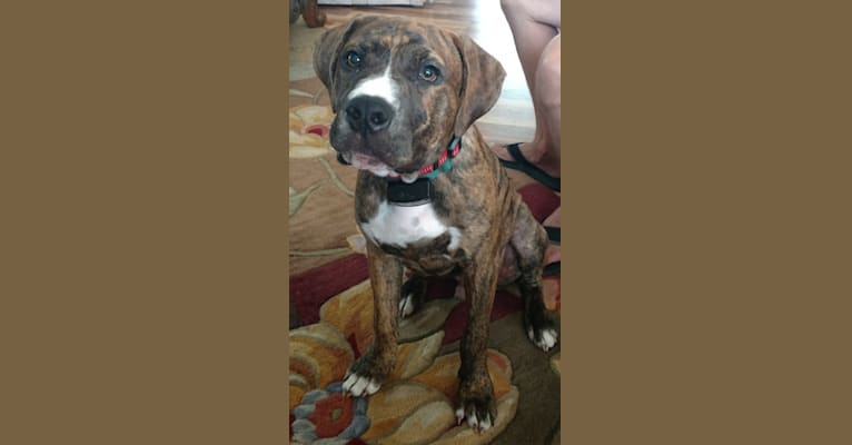 Photo of Buster, an American Pit Bull Terrier and Bulldog mix