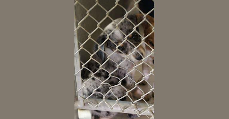 Photo of Rylee, an Australian Cattle Dog, Border Collie, Labrador Retriever, Pointer, and Australian Shepherd mix in Portales, New Mexico, USA
