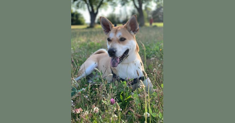 Photo of Louie, a Siberian Husky, American Pit Bull Terrier, Chow Chow, German Shepherd Dog, Labrador Retriever, Australian Cattle Dog, and Mixed mix in Houston, Texas, USA