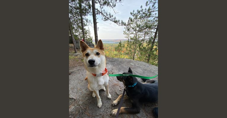 Photo of Sumi, a Japanese and Korean Village Dog and Akita Inu mix in South Korea