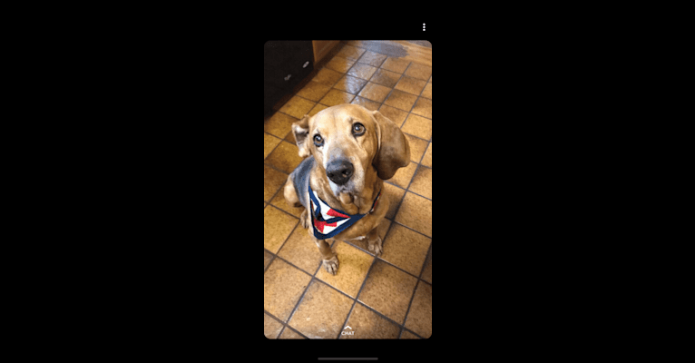 Photo of Old Boi, a Treeing Walker Coonhound  in Concord, California, USA