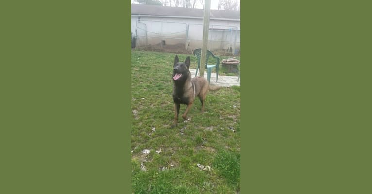 Photo of Phoenix, a Belgian Shepherd  in 9136 State Route 136, West Union, Ohio 45693, USA