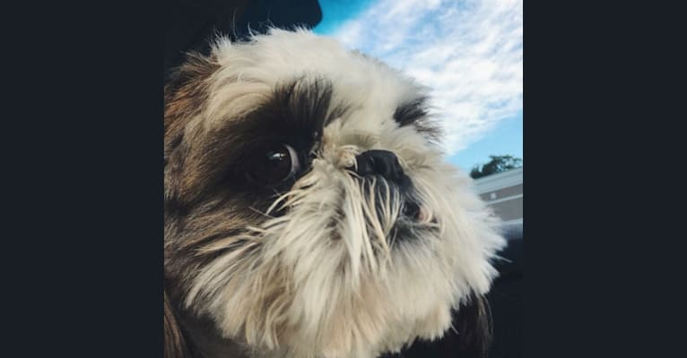 Photo of Milo, a Shih Tzu  in Lebanon, NJ, USA