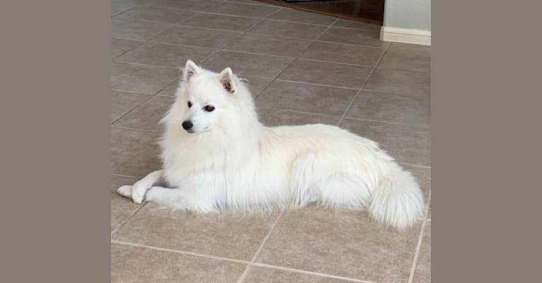 Photo of Osso, an American Eskimo Dog  in Texas, USA
