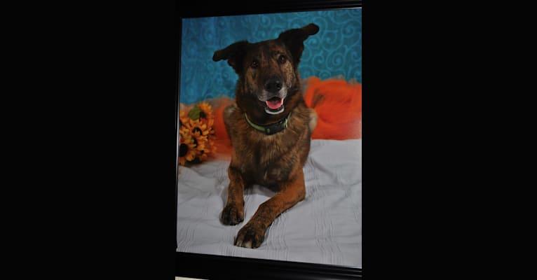 Photo of Forrest Gump, a German Shepherd Dog, Labrador Retriever, Chow Chow, Siberian Husky, and English Springer Spaniel mix in Spokane, Washington, USA